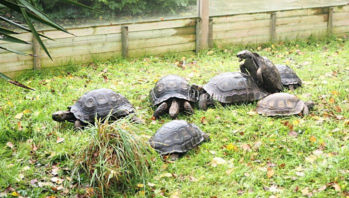 reproduction tortue alligator bay